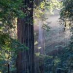 Sinker Redwood Story